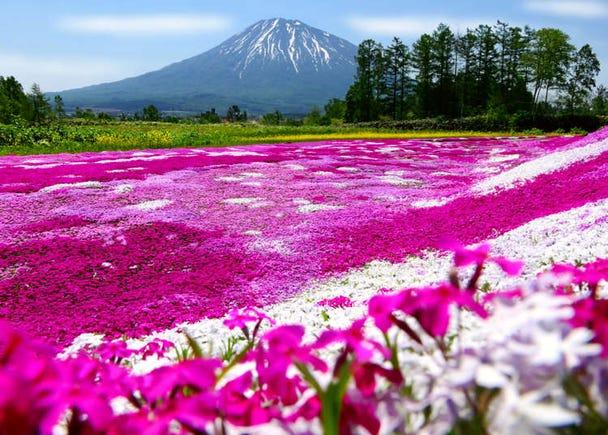 Gorgeous Sunflowers & More: 6 Most Scenic Spots in Hokkaido Near Niseko and Mount Yotei