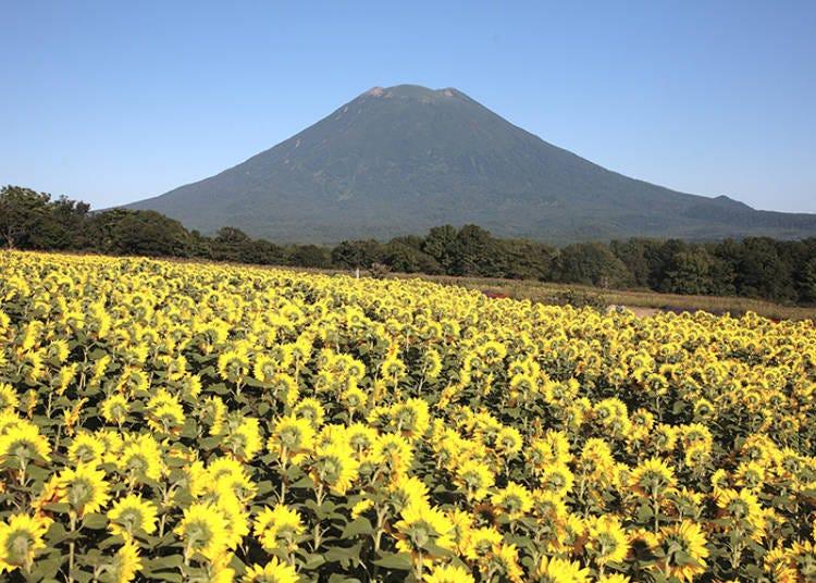 【羊蹄山の絶景 その2】知る人ぞ知る!「東山 花の丘」のヒマワリ畑