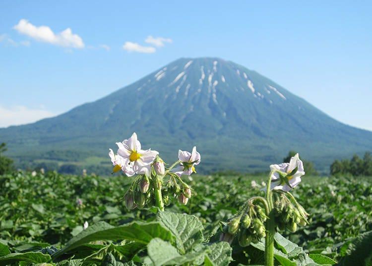 니세코의 심볼, 에조후지 [요테이산]의 모습을 즐기다! 【요테이산의 절경 그 첫 번째】7월 초의 풍물시.감자 밭과 요테이산