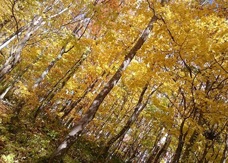 羊蹄山「水之庭园」秋季枫红美不胜收