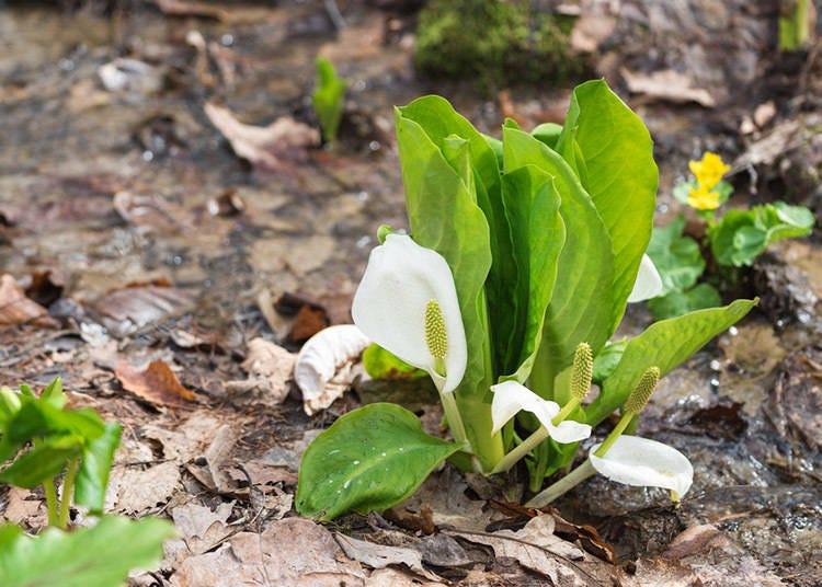 北海道春季(3~5月)的平均氣溫・降水量