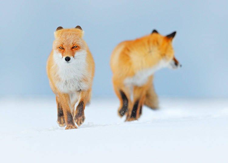 北海道冬季的平均氣溫‧降水量