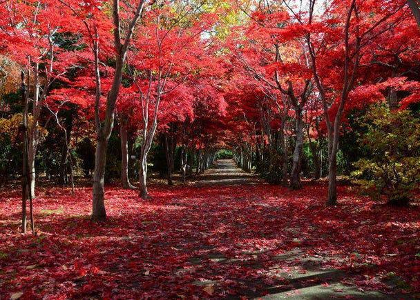 홋카이도의 가을을 수놓는 단풍 가이드. 인기 명소와 최고의 단풍 시즌을 소개한다.