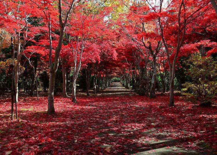 枫叶为北海道的秋天染上鲜艳的红色,那北海道究竟有哪些赏枫景点呢?何时才是最佳赏枫时机呢?我们将为你彻底剖析!