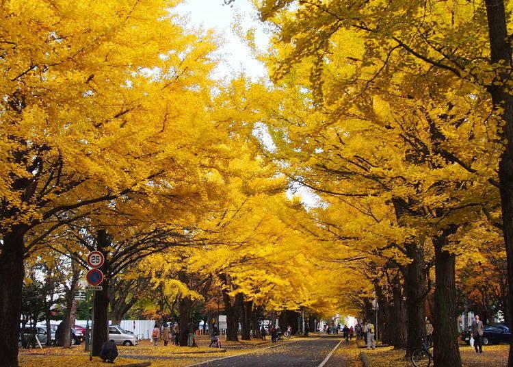 北海道賞楓景點⑦「北海道大學」校園內的黃色大道
