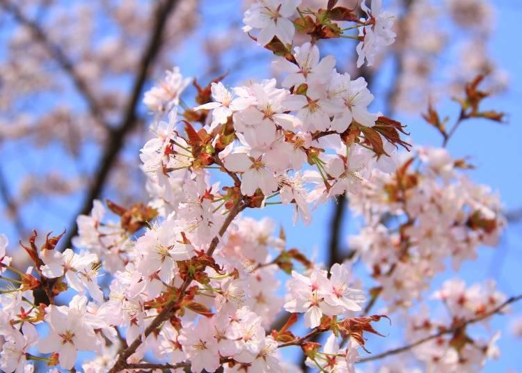 Ezo-yamazakura: The most common variety of cherry blossoms in Hokkaido