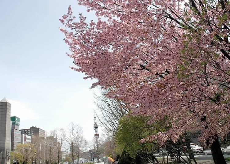 9. Odori Park: A popular hanami spot in Central Sapporo