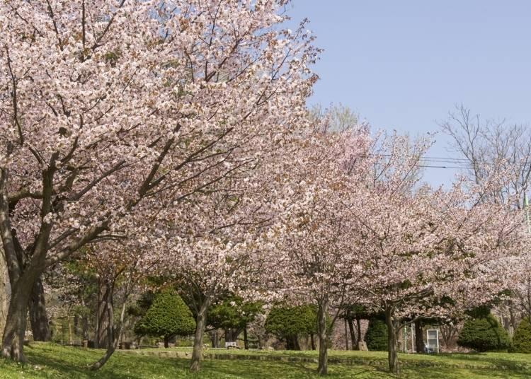 4.歴史ある桜の名所「円山公園」【道央】