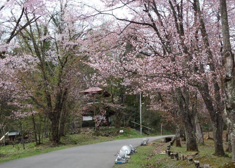 7.3,500本ものエゾヤマザクラは圧巻!「旭山公園」【道北】