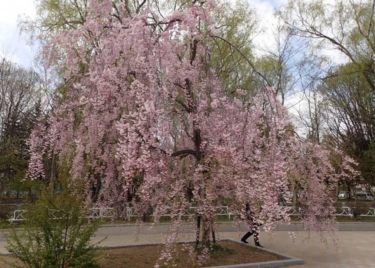 10.ボートから桜を楽しめる「月寒公園」【道央】