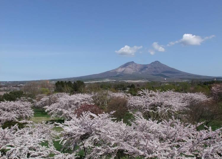 3. 19종류의 벚꽃을 감상할 수 있는 '모리마치 오니우시 공원'[도난]