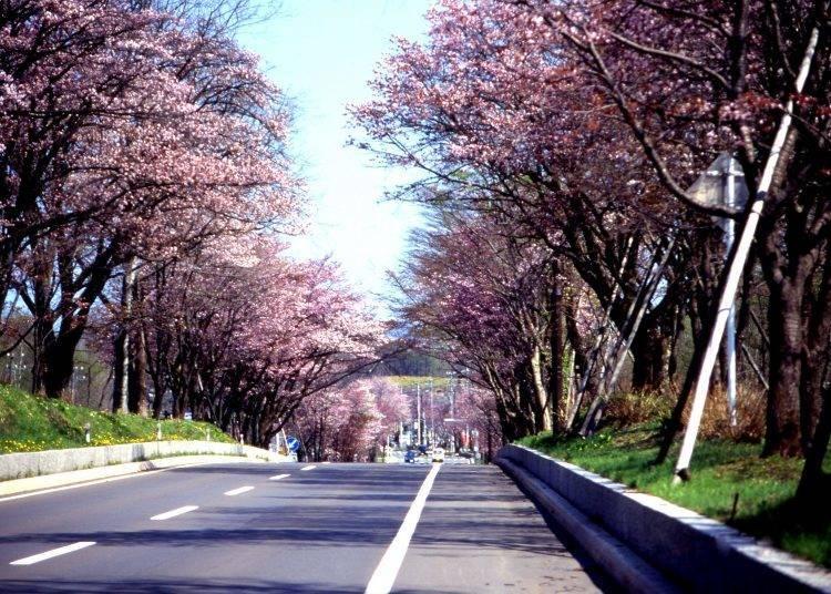 5. 꽃 터널로 변신하는 '노보리베쓰 벚꽃 가로수길'[도오]