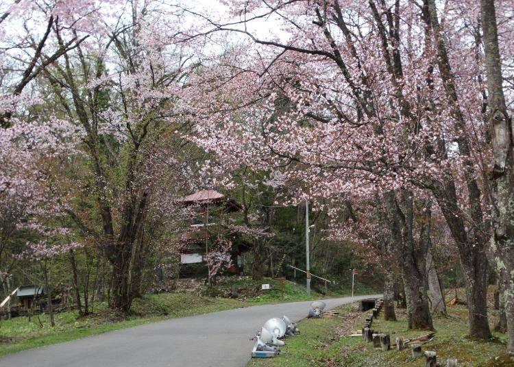 【旭山公園】盛開令人驚豔讚嘆的3,500株蝦夷山櫻!