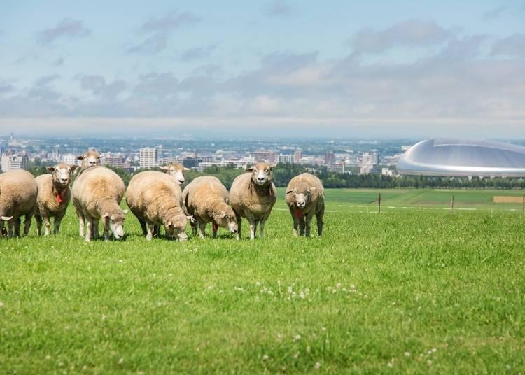 從展望台上瞭望札幌街景「札幌羊之丘展望台」
