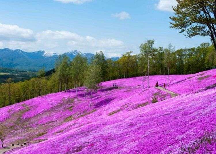 홋카이도 오호츠크 '하나카이유'. 꽃의 명소가 펼쳐진 약 200km에 달하는 플라워 로드에서 봄철 드라이브를 즐겨보자!