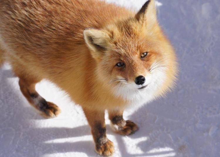 Each ezo fox has its own personality