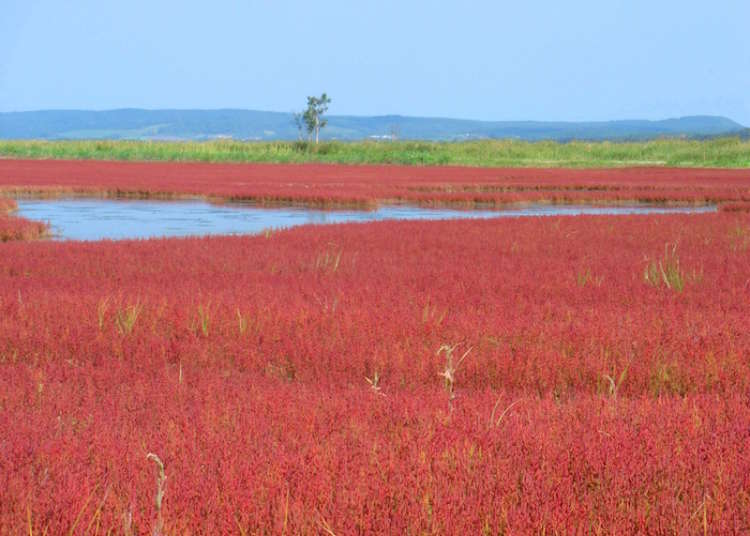Roll Out the Red Carpet! Japan Has Breathtaking Fields of 'Coral Grass'