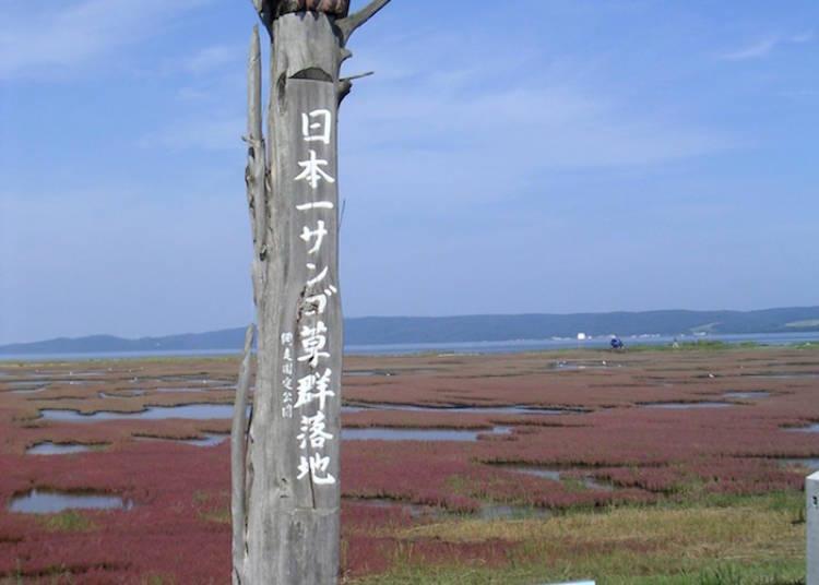 北海道珊瑚草景點①網走市「能取湖」為日本第一的珊瑚草觀景勝地