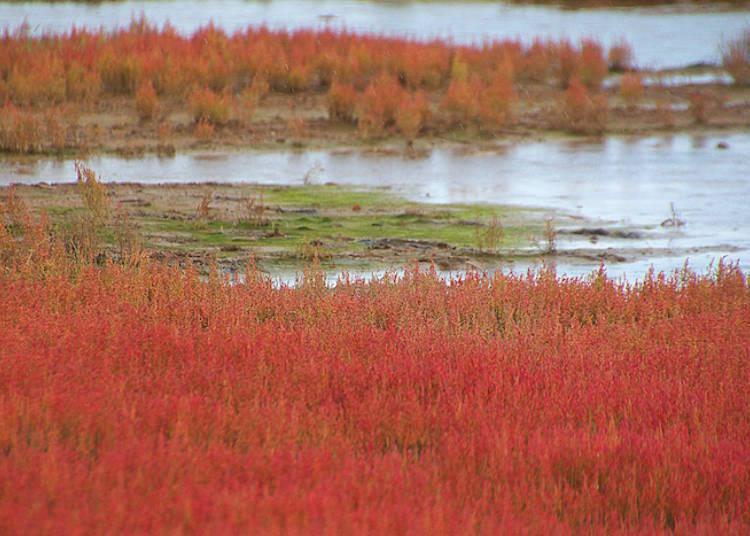 北海道賞珊瑚草注意事項:守護珍貴的秋季風景