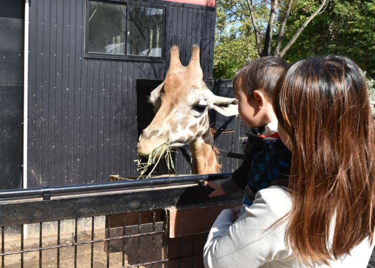 Eye to Eye with Giraffes! Strolling through the North Safari