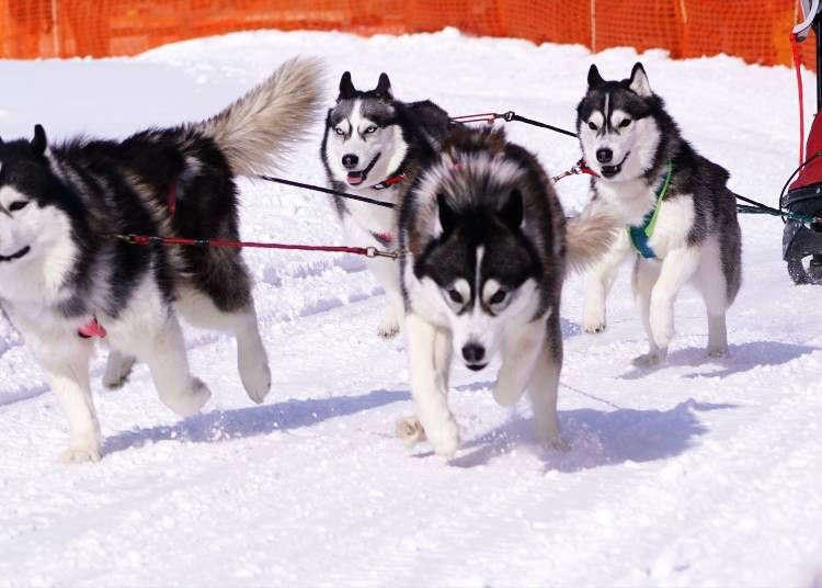 冬天的北海道不是只有滑雪、滑雪板啦!6項雪地活動&服裝建議!
