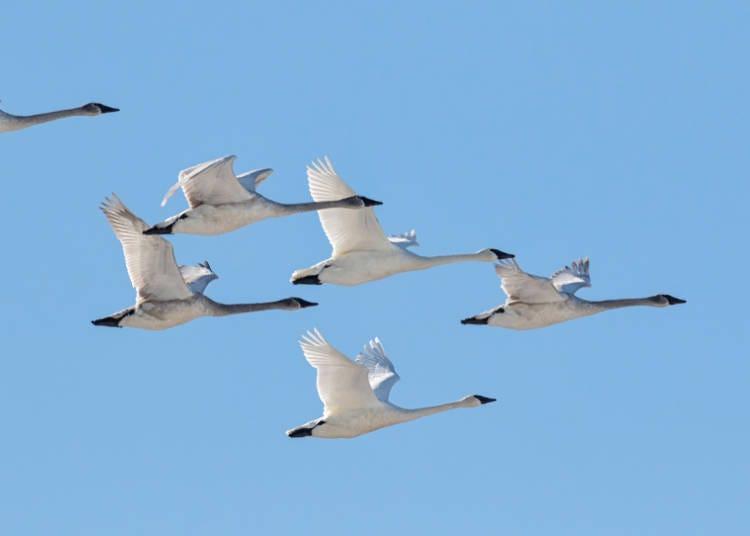 3.在阿寒湖一邊看著天鵝飛舞一邊泡著露天溫泉,幸福至極!