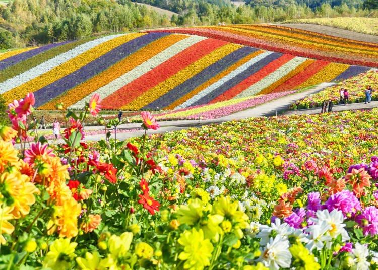 北海道夏天自由行必知2. 在夏天的山林野花各地綻放是一大魅力