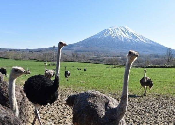 4. Niseko No.2 Arishima Ostrich Farm: Say what?!