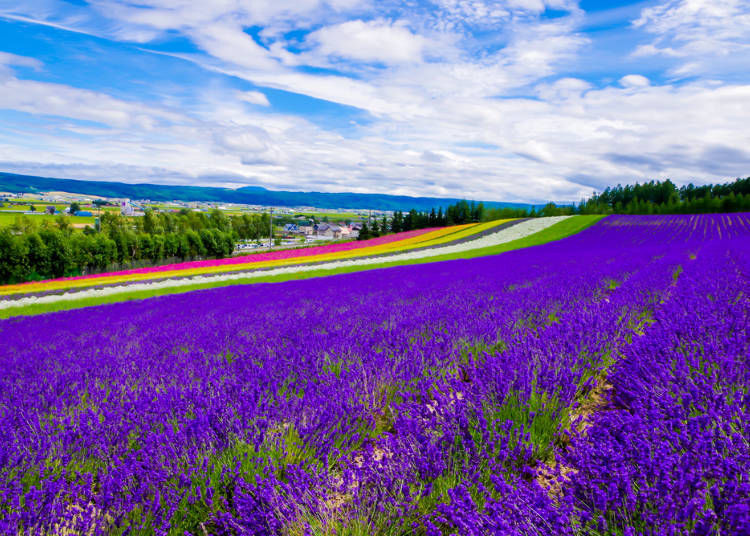 4. Let the scent of lavender wash over you at Farm Tomita