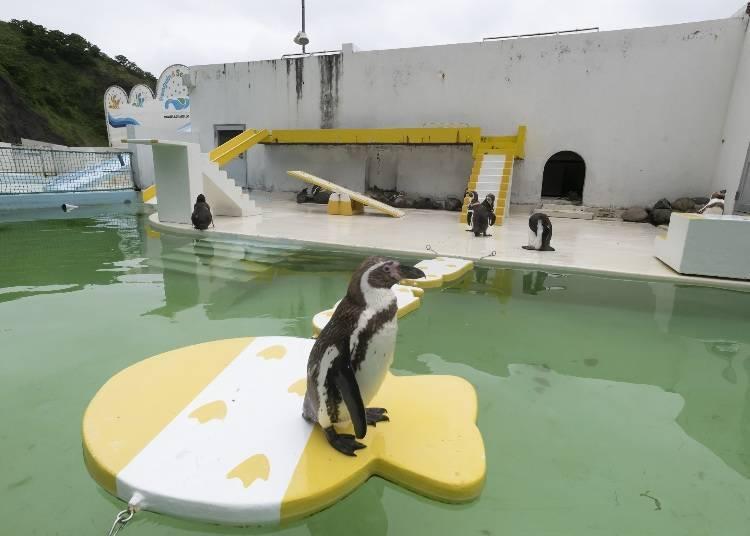 小樽水族館看點⑨也太自由!?也不要漏看熱門的企鵝表演秀