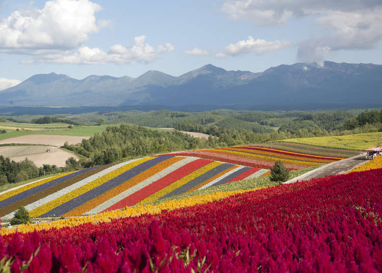 Complete Guide to Biei's Shikisai-no-Oka: Colorful Flower Fields and Scenic Hills!