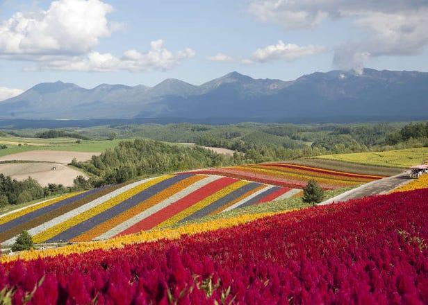 ストライプの花畑に感動!美瑛「四季彩の丘」の魅力を徹底紹介