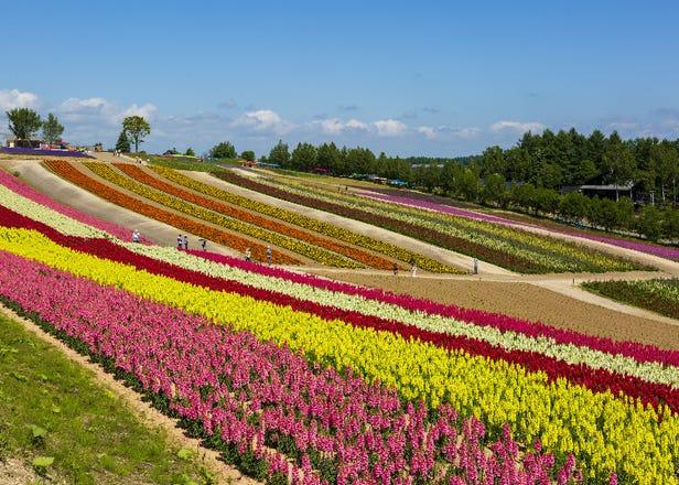 北海道・美瑛「四季彩の丘」の魅力を徹底紹介!色とりどりの花畑にグルメや宿泊も
