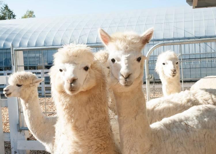 動物とのふれあいも。「アルパカ牧場」