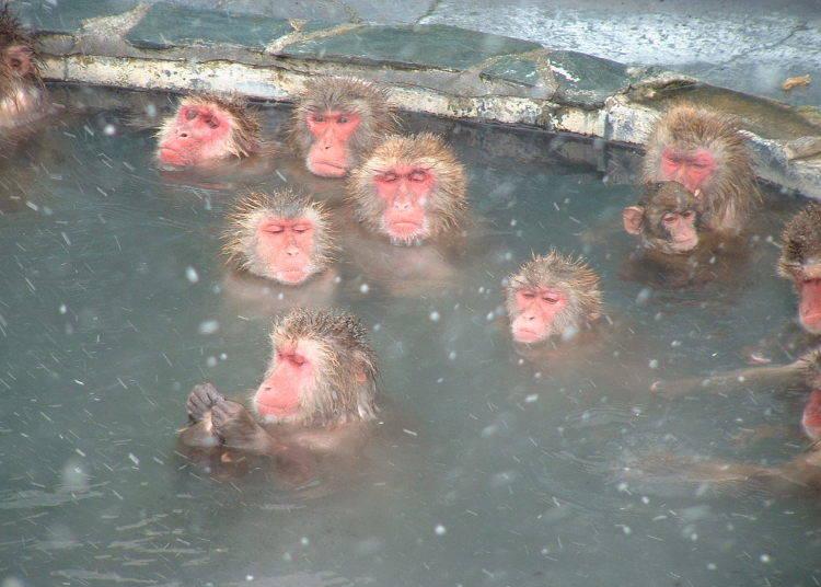 2. Hot-Tubbing Monkeys at Hakodate City Tropical Botanical Garden