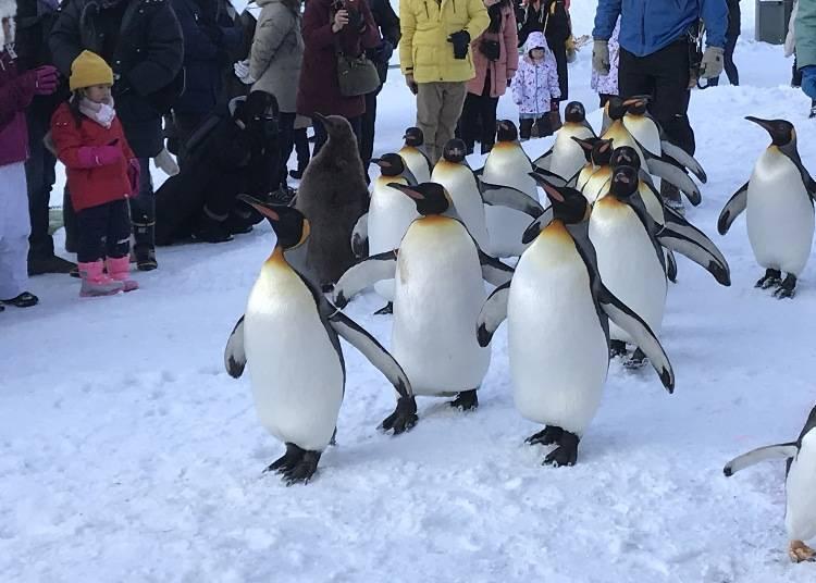 9. Penguin Walk: A popular event at Asahiyama Zoo
