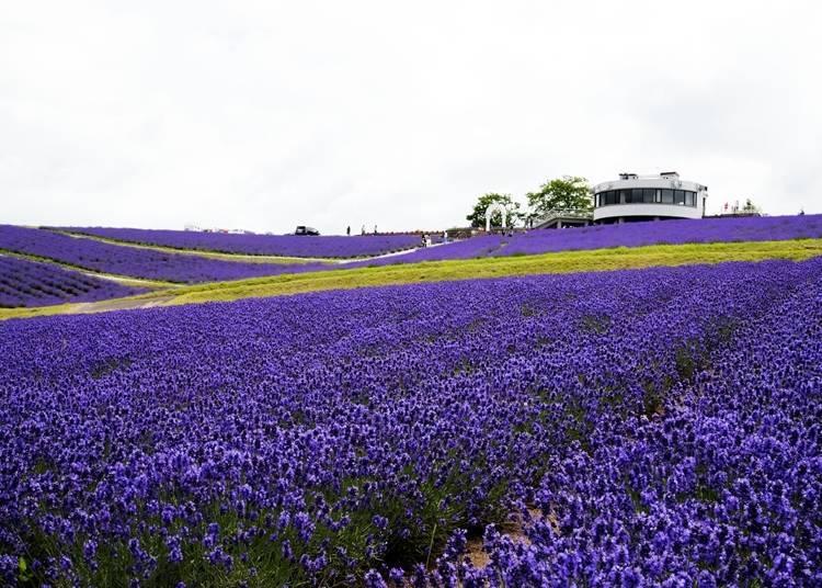 13. Stroll Through the Lavender Fields