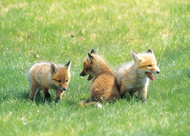 22. Greet Cute Red Foxes