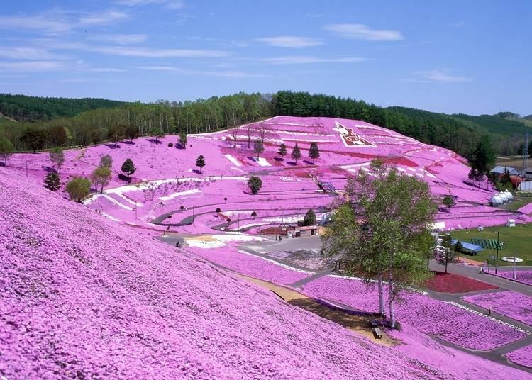 11.地面を覆いつくす芝桜を見に行く
