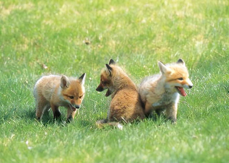 22. 到「北见狐狸牧场」看看可爱的狐狸