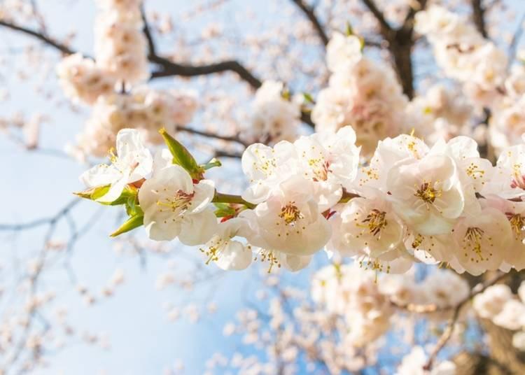 8:享受北海道獨有的賞花樂趣