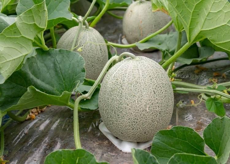 Popular brands of Hokkaido melons