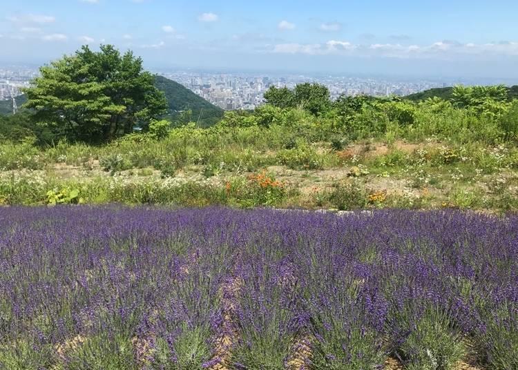 ■ 그레고리 씨(싱가포르 출신으로 일본 거주 경력 2년)의 추천하는 곳 3. 삿포로에도 라벤더의 명소가 있다! 도시를 내려다보는 '호로미토게(幌見峠) 라벤더 정원'
