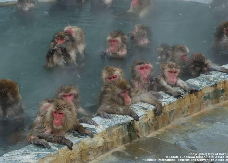 8 . 온천을 즐기는 원숭이가 사랑스러운 '하코다테 열대식물원'
