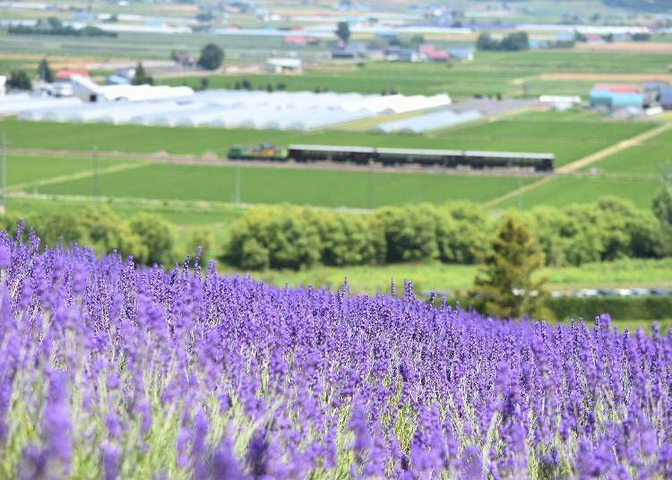 10. June to August: Farm Tomita's colorful lavender fields