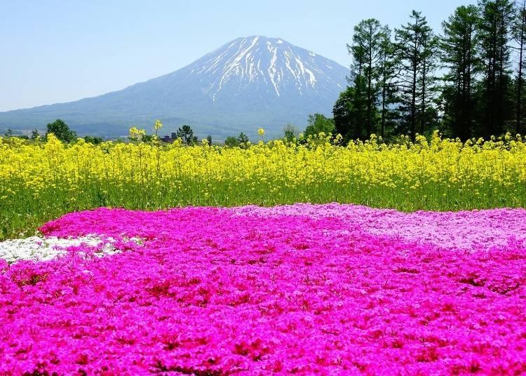 5)5月 羊蹄山の春の風景 三島さんの芝桜庭園(倶知安町)