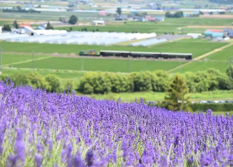 10)6月~8月 丘を紫に染めはじめる「ファーム富田」のラベンダー畑(富良野町)