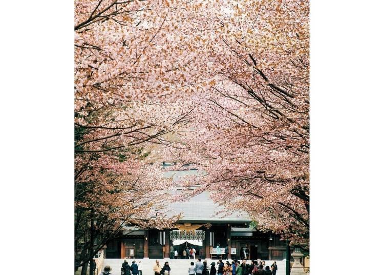 4) 4 ~ 5월 홋카이도 신궁의 벚꽃(삿포로시)