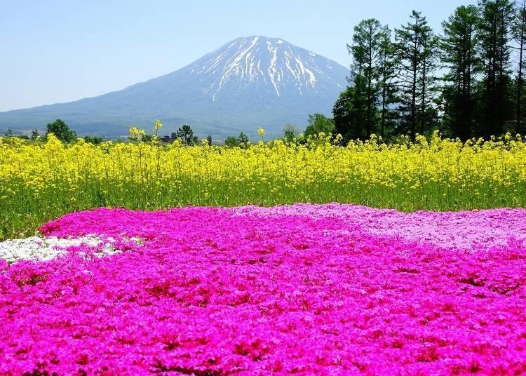 5)5月  羊蹄山的春季風光  三島先生的芝櫻庭園(俱知安町)