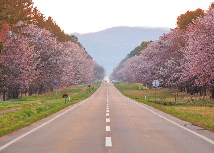9:30 「静内二十間道路桜並木」でピンクに染まる街道を走る